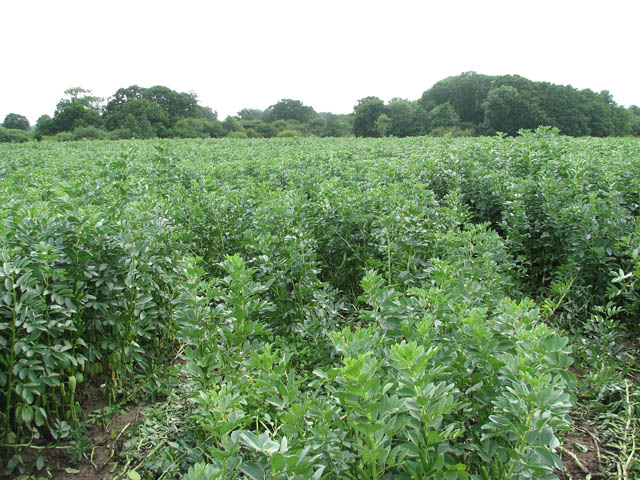 a_crop_of_field_beans_-_geograph-org-uk_-_1367307