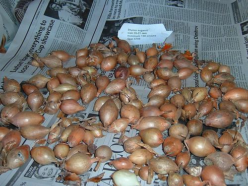 onion-sets